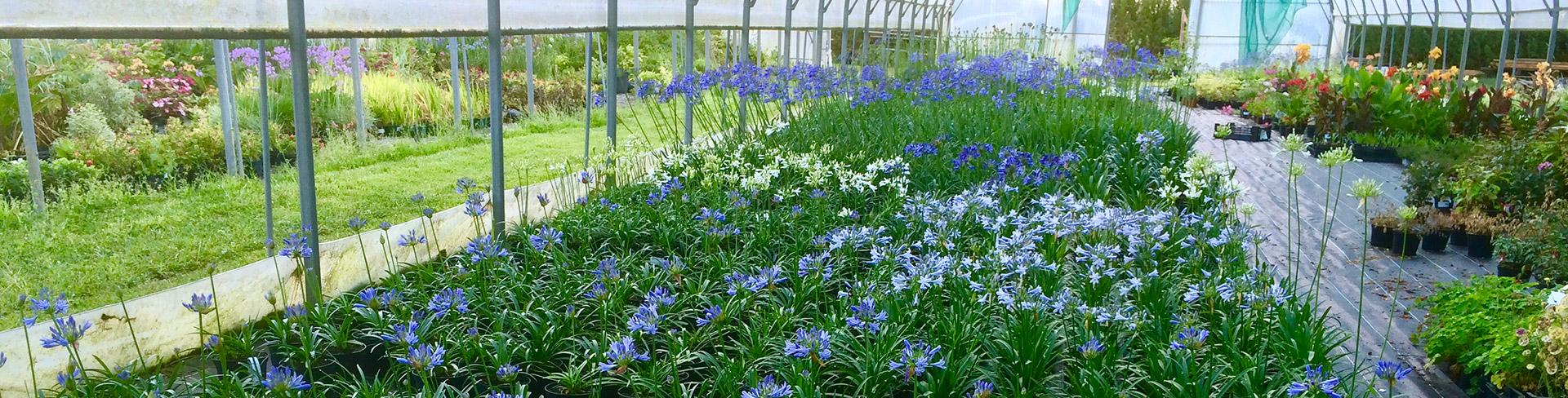 The agapanthus greenhouse